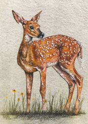 (c)2018 April 4, Wednesday-10am-2pm, Young Whitetail-DK Art Supply